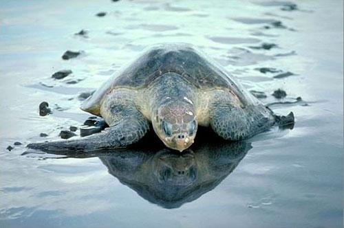 No permitas que las tortuguitas se conviertan en las próximas víctimas de COVID-19.