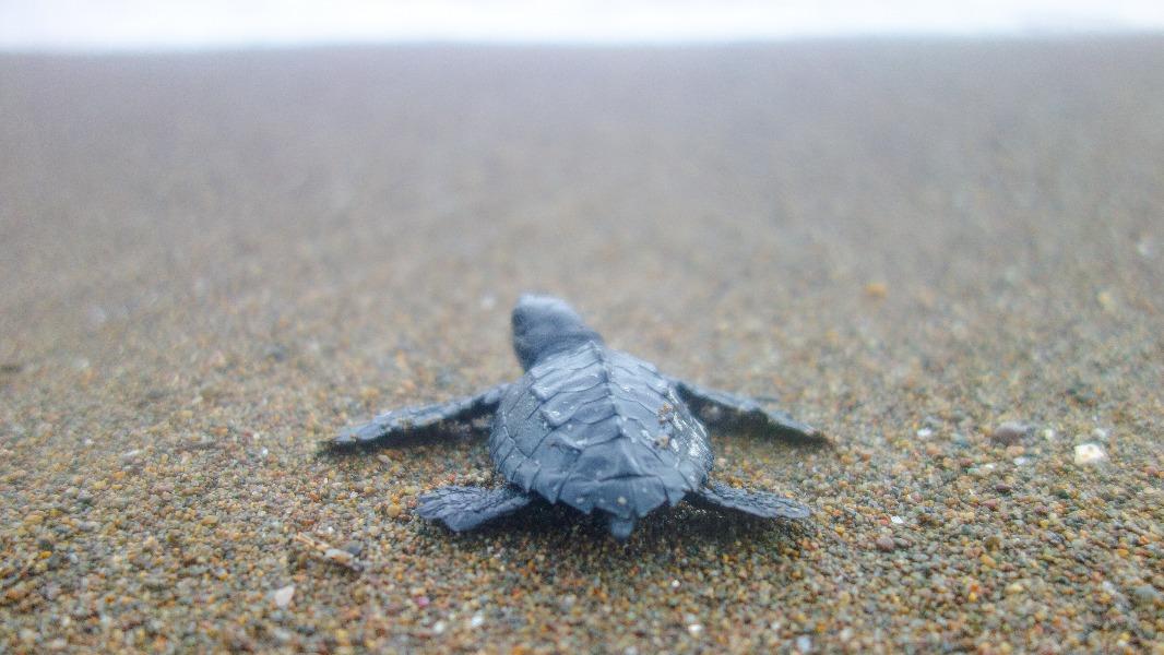 Temporada 2020 Programa de Conservación de Tortugas Marinas.