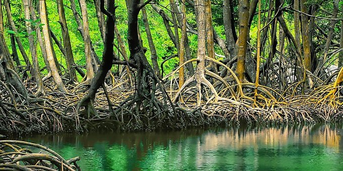 Mangroves, magical forests